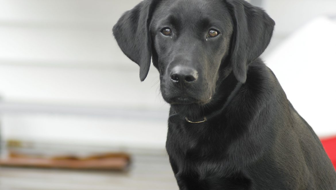 Mount Anvil trains Labrador to sniff out damp