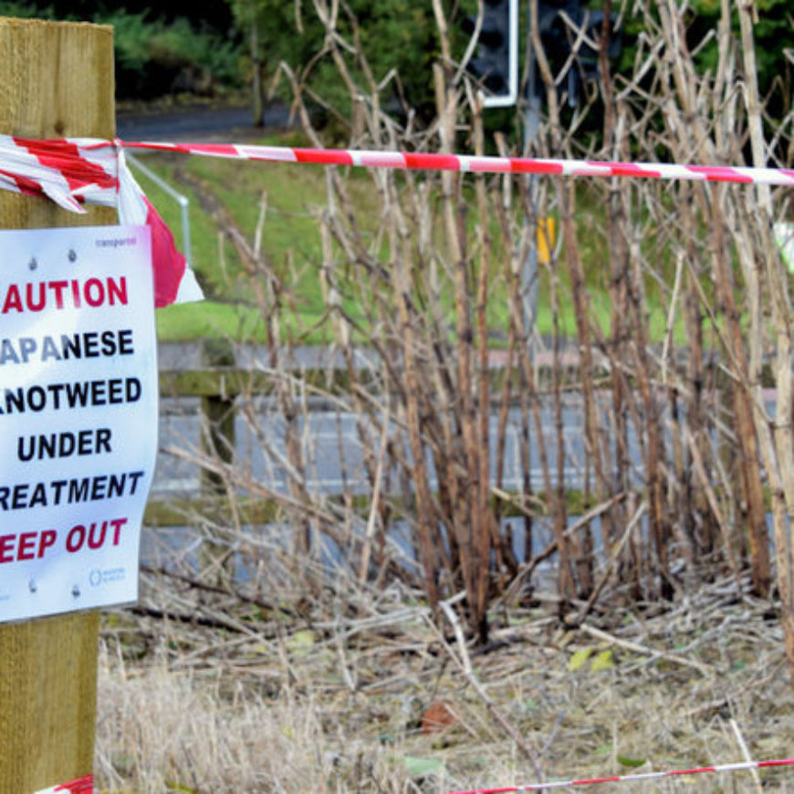 New discovery could free sites from Japanese knotweed